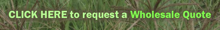 Eragrostis Teff Grass