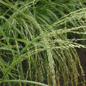 Teff Seeds Eragrostis Teff Grass Sa Brown