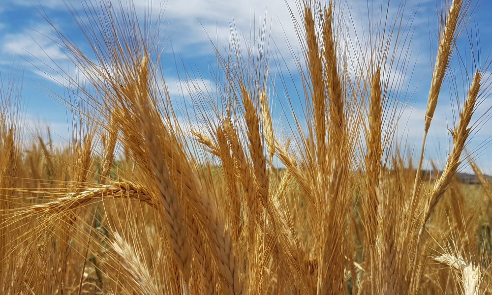 Welcome to BulkSeed.co.za - we supply agricultural seeds for forage / fodder / lawn / turf / pasture / green manure / vegetables.