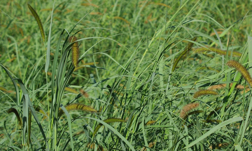 BulkSeed.co.za - Summer Grasses / Pastures - Annual and Perennial Summer Grasses - used for animal grazing / forage / fodder / haymaking / land rehabilitation.